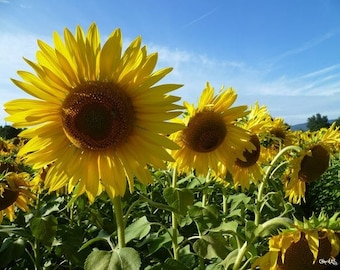 """Poster """"Field of sunflowers"""" 75x50cm made from a Celine Photos Art Nature photo"""