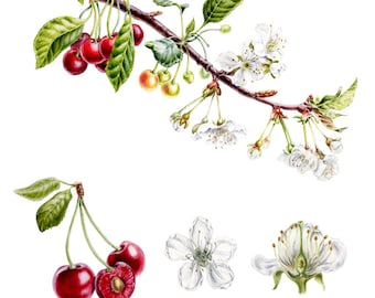 Watercolor botanical illustration: Cherry. Art print.