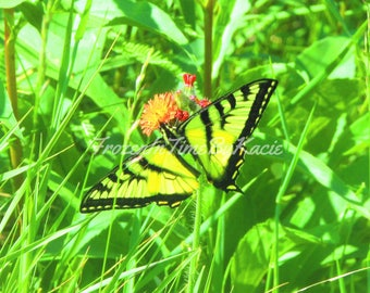 Tiger Swallowtail butterfly - Digital download photo