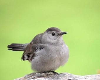 Gray Catbird - Bird photograph - Spring Bird - Nursery Wall Art - Nature Photograph
