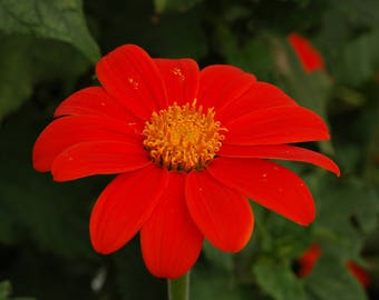 Seeds - Mexican Red Sunflower - 100 ct.