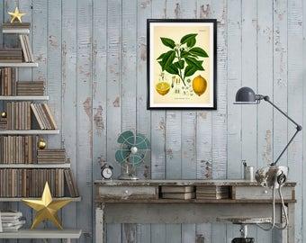 Lemon Botanical Print, Citrus Limonum Risso, Lemon print, kitchen print, medical botanicals, vintage botanicals, botanical citrus prints