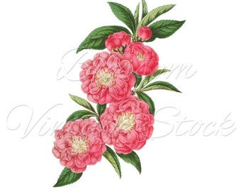 Botanical Print, Digital Download Flowers PNG Digital Image INSTANT DOWNLOAD Vintage Digital Image, Clipart - 2089