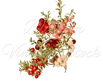 Botanical Vintage Image -Botanical Graphic for prints, digital artwork, collage, decoupage - INSTANT DOWNLOAD - 1844
