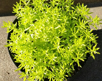 "Sedum mexicanum 'Lemon Ball' 3.5"" pot-sized plant - full sun - perennial"
