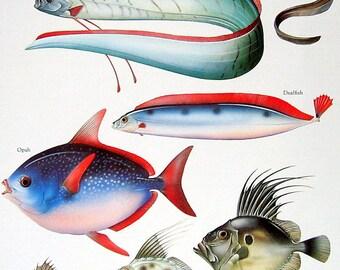 Oarfish, Dealfish, Opah, Boarfish 1984 Vintage Fish Book Plate Colored