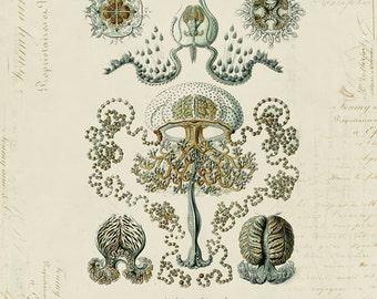 Vintage Medusa Jellyfish on French Ephemera Print 8x10 P61