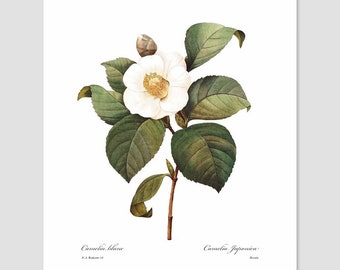 Camellia Art (White Room Decor, French Kitchen, Country Home, Office Flower Art, Cottage Bedroom Print, Antique Botanical) Pierre Redoute