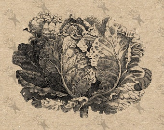 Vintage Cabbage Lettuce Green Vegetable image Instant Download printable Vintage picture clipart digital graphic scrapbooking burlap 300dpi