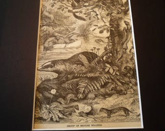 1870 Etching Weasels  original Animal Kingdom Matted for 8 by 10 frame - gift for animal lover nature lover detailed