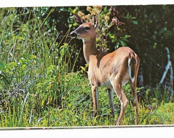 Vintage Florida Chrome Postcard Everglades National Park White-Tailed Deer Glades UNUSED