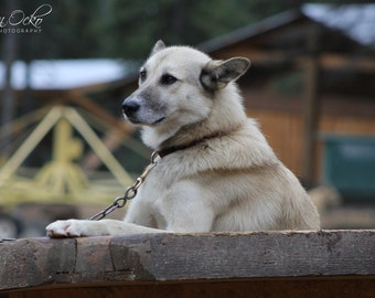Alaskan Husky Photography Print