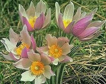 Anemone patens Wolfgangiana .. 25 seeds