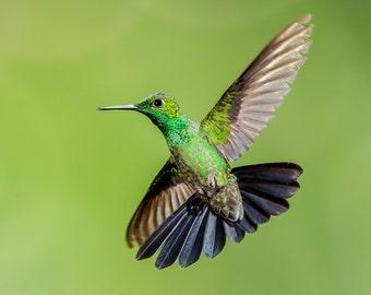 Hummingbird Photo, Hummingbird Print, Nature Print, Fine Art Print, Bird Picture, Bird Photography, Hummingbird Art, Green-crowned Brilliant
