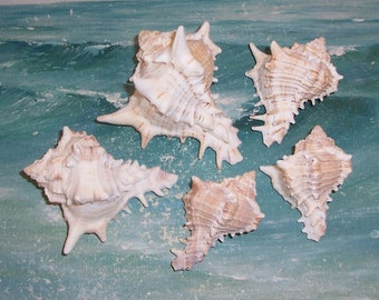 Lot of 5 FLORIDA Navarre BEACH Collected Giant Eastern Murex Shell SEASHELLS #4
