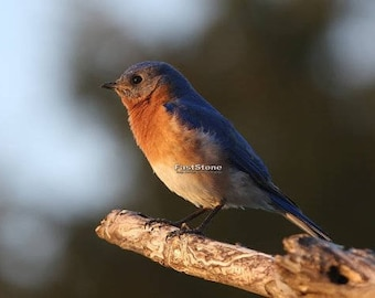 Eastern Bluebird, songbird, bird, nature, photo, print, photography, wall art, home decor, wildlife, metal