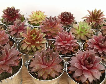 Colorful Collection Succulents in Silver pails, Great Wedding, Garden Party, Seating Markers, Shower Favors