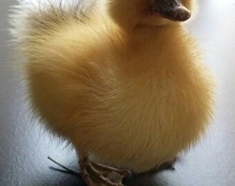 Taxidermy Duckling, Taxidermy, Unique, Oddity, Oddities, Gothic, Dead, Unusual Gift, Stuffed Animal, Curiosity, Yellow Duck, Home Decor.
