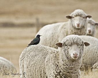 Sheep Photography, Nature Photograph