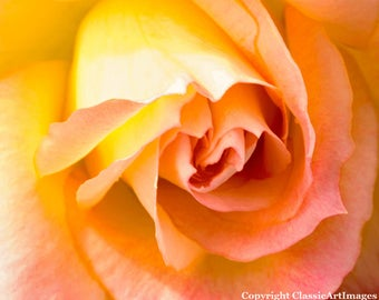 Rose Photo, Flower Photo, Rose Photography, Rose