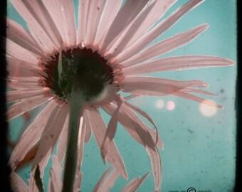 Pink Blue Daisy Photograph--Pink Daisies TTV--Fine Art