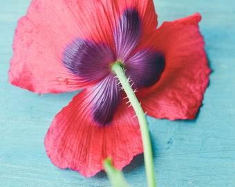 Poppy, red poppy botanical art print, blue and red wall art, large wall art, flower decor, floral wall art, flower photography, still life