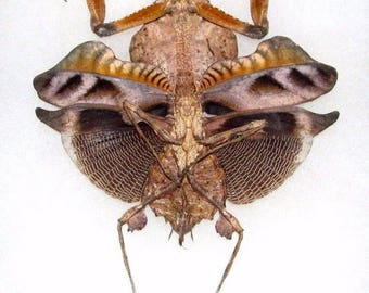 ONE real praying mantis deroplatys lobata dead leaf mantis light form female spread mounted