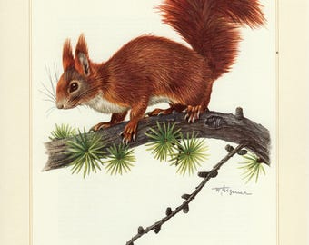Vintage lithograph of the red squirrel or Eurasian red squirrel from 1956