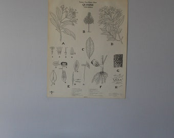 Vintage Quinine classroom chart from Turtox