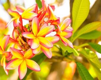 Plumeria Flowers Hawaii - Image 506