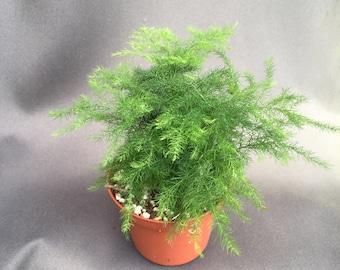 Plumosus Fern,  Easy and useful Asparagus Fern