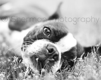 Boston Terrier Photography - Dog Photo - Black and White - Cute Dog Print - 8x10 8x8 10x10 11x14 12x12 20x20 16x20 - Photography