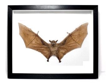 Real Taxidermy Bat Framed Long-Tongued Nectar Bat  (M. minimus) UK - Curiosities & Oddities