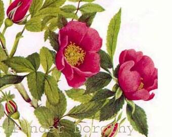 Wild Rose Flowers Rosehips Vintage 1955 Botanical Lithograph Art  Print To Frame 184
