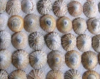 62 grand Natural Sea Shells mosaïque d'Art bricolage (1728)