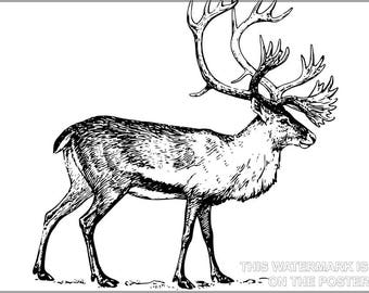 Poster, Many Sizes Available; Caribou Illustration