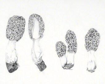 Morel mushroom, graphite drawing, botanical study, digital download for personal use or work correspondence