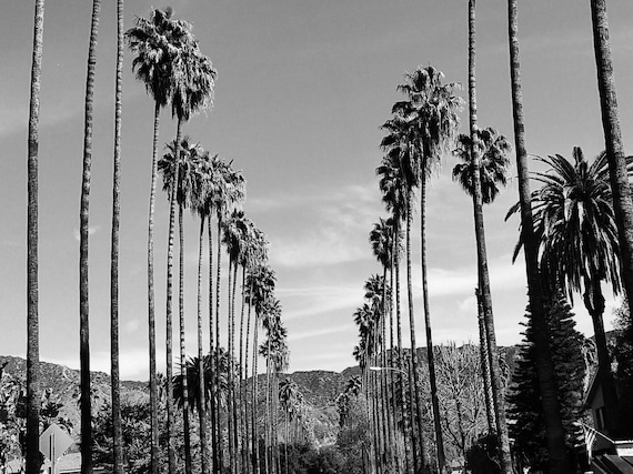 Palm trees in los angeles california black and white palm