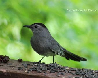 Bird photography, gray catbird, 5x7 nature photo, woodland bird, avian wall art, fine art print, country home decor, songbird print