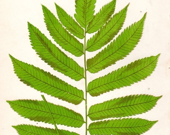 Custom Matted 1868 Matted Fern Print Vintage Botanical Lowe Vintage Flower Home Decor  Antique Botanical Print