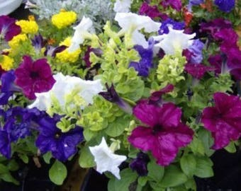250 MIXED COLORS PETUNIA Flower Seeds