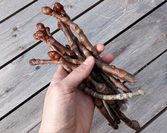 Chestnut Twigs with Buds, Natural Woodland Crafts, Simple Rustic Decorations, Wooden, Floral Twigs Branch Supplies