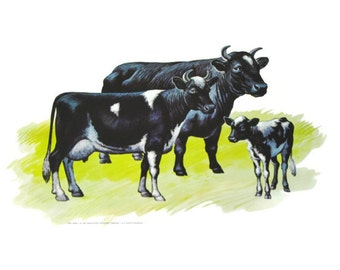 Holstein Cow Cattle Print - Flash Card, Educational Poster w/ Calf