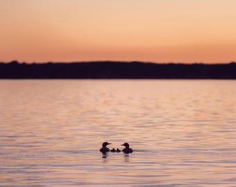 Minnesota family of Loons-Wildlife photography-Fine Art Print-Sunsets in Minnesota