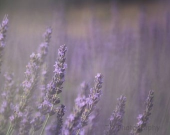 Lavender Photography - Nature Photography - Fine Art Photography - Lavender - Dreamy Photography