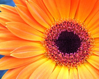 Yellow Orange Gerber Daisy Photograph, Fine Art Floral Photography, daisy flower close up orange daisies photo wall art 5x7 8x10 11x14 16x20