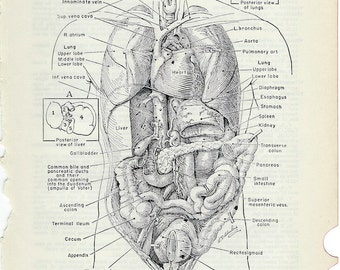 Human Anatomy Vintage Medical Anatomy Illustration -  Thoracic and Abdominal Viscera to Frame or for Paper Arts PSS 0169