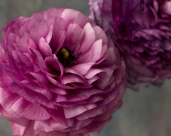 Purple Ranunculus Photograph, Flower Still Life, Floral Art Print, Floral Wall Decor, Nature Photography