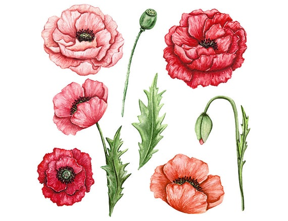 Watercolour poppy flowers leaves 8 clip art graphic design png high watercolour poppy flowers leaves 8 clip art graphic design png high resolution n518 from watercolourclipart on etsy studio mightylinksfo Choice Image