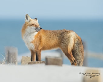 Red Fox at the Beach